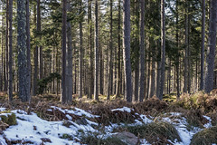 Lovely straight pines (prajpix) Tags: pine wood woods forest woodland plantation trees forestry invernessire highlands scotland winter ice snow