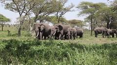 Matriachal Herd (Hector16) Tags: ndutu wildebeestmigration eastafrica serengeti nature migration tanzania wildlife movie loxodontaafricana