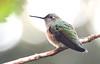 Broad-tailed Hummingbird -- Female (Selasphorous platycercus); Santa Fe National Forest, NM, Thompson Ridge [Lou Feltz] (deserttoad) Tags: bird wildbird newmexico wildlife hummingbird behavior nature nationalforest mountain