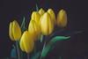 (Rhia.photos) Tags: flowers tulip tulips spring springtime nature colors colours yellow green image photography photograph photo fujifilm fujifilmx fuji fujix