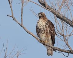 Red-tailed Hawk (Hammerchewer) Tags: redtailedhawk bird raptor wildlife outdoor