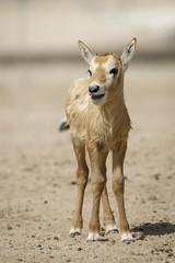 070A4424 (Cog2012) Tags: qatar oryx