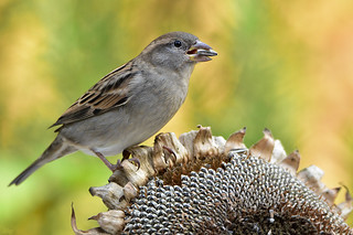 DSC 3011 Spatz - Sparrow