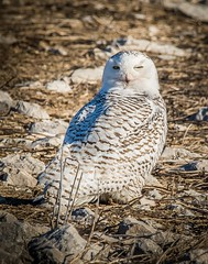*Wink* (Dr. Farnsworth) Tags: bird snowyowl owl large female breakfast girl sunshine wink yellow eyes muskegon mi michigan winter march2018 nationalgeographic worldwide