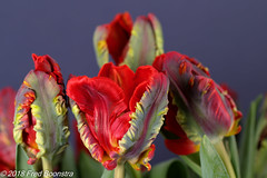 """In our livingroom, """"Parrot rococo tulips"""" (Fred / Canon 70D) Tags: falconeyesoctabox falconeyessoftbox flowers falconeyes falconeyesskk2150d ef100mmf28lmacroisusm canon70d canoneos canon parrotrococotulips tulips tulip tulp tulpen eefde spring spring2018"""