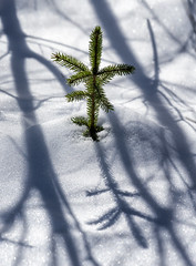 Harbinger? (Canadapt) Tags: pine tip top shadow forest snow winter spring keefer canadapt