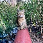 Mi amigo el trípode. Es más bonico #gatos #gatoscallejeros #cats #photocats #instacats #neko #meow #gatze #gatto #koshka #catsofworld #catsofinstagram #streetcats #chat #tullido #cojo thumbnail