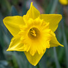 Daffy (Jez22) Tags: daffodil yellow flower floral squarecrop bright color colour colourful spring vibrant narcissus copyright jeremysage
