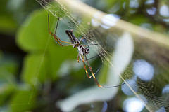 Golden Orb-web Spider (Nephila clavipes) - female (Rodrigo Conte) Tags: golden orbweb spider nephilaclavipes fêmea female nephila clavipes orbweavers giant wood spiders banana orbweaver nephilidae aranha brasil brazil formosa goiás fantasticnature buzznbugz brasilemimagens aracnídeo arachnida araneidae nephilinae