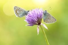 Sunshine Boogie Woogie... (Zbyszek Walkiewicz) Tags: butterflies butterfly sony closeup coth5 ngc