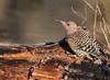 Flicker Flicking Tongue (Bonnie Ott) Tags: flicker woodpecker