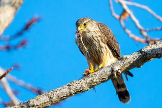 Merlin with bird (X82_8091-1)
