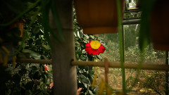 En el punto de mira (Renate Bomm) Tags: 7dwf blume camelienblüte flora kamelie landschaft natur park renatebomm sigma16mmf14dcdn sonyilce6000 floral flower red cameliagigantes fencedfriday fencedd