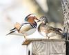 Odd Couple (pandatub) Tags: bird birds duck woodduck mandarinduck elkgrove