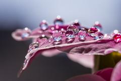 Nevena Uzurov - Light (Nevena Uzurov) Tags: petal primrose light bokeh reafraction drops droplets water nevenauzurov serbia