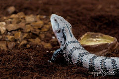 Reptil Selva Viva (Angel Santana - Fotografía) Tags: concepcion biobio selvaviva reptil animales fauna canonchile eosrebelt6