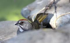 Portrait Peek -- Green-tailed Towhee (Pipilo chlorurus); Catalina Regional Park, Arizona [Lou Feltz] (deserttoad) Tags: reflection nature animal bird wildbird wildlife sparrow towhee water park desert arizona