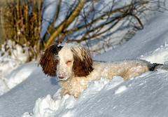 Fun in the snow (1) (Missy Jussy) Tags: drifting snow cold winter beastfromtheeast rupert rupertbear pet dog dogwalk animal englishspringer springerspaniel spaniel outdoor outside countryside newhey rochdale canon canon5dmarkll 70200mm ef70200mmf4lusm ef70200mm canoneos5dmarkii 5d canon5d lancashire