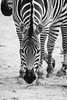 Zebra (Longleaf.Photography) Tags: zebra animal wildlife africa zoo birmingham hooves bw stripes