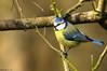 Mésange bleue (Phil du Valois) Tags: mésange bleue cyanistes caeruleus eurasian blue tit herrerillo común chapimazul blaumeise kék cinege pimpelmees cinciarella europea blåmes blåmeis sýkorka belasá sýkora modřinka blåmejse sinitiainen mallerenga blava eurasiàtica blámeisa modraszka zwyczajna zilzīlīte plavček лазоревка アオガラ 青山雀 歐亞藍山雀 faune sauvage libre oiseau wild wildlfe free bird