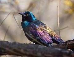 Grackle (Goggla) Tags: common grackle bronze nyc new york east village tompkins square park urban wildlife bird explore