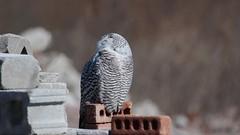 DSC_0110 (Hanzy2012) Tags: toronto ontario wildlife canada bird nikon d500 afsnikkor500mmf4difedii owl snowyowl buboscandiacus nature wild