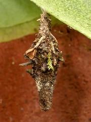 P1050872 (Eerika Schulz) Tags: kokon cocoon puyo ecuador jardin botanico las orquideas eerika schulz