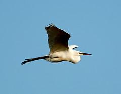 03-14-18-0007420 (Lake Worth) Tags: animal animals bird birds birdwatcher everglades southflorida feathers florida nature outdoor outdoors waterbirds wetlands wildlife wings