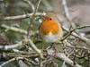 Just a Robin... (Maria-H) Tags: greatermanchester england unitedkingdom gb robin erithacusrubecula dunhammassey cheshire uk olympus omdem1markii panasonic 100400