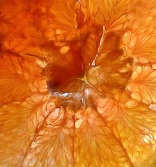 Cara Mia Mine! (☁☂It's Raining, It's Pouring☂☁) Tags: macromondays macro citrus caracaraorange slice texture pattern food fruit fiberous delish caramiamine jozimnyphotos