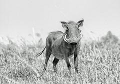 WARTHOG MALE (gazza294) Tags: flicker flickr flckr flkr flickrexplore warthog kenya masaimara nationalgeographic naturetrek nature wildlife wildlifemagazine wildlifephotography wildlifephotographer google explore gazza294 garymargetts