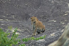 Sri Lankan Leopard (Panthera pardus) (ritchie.zelk) Tags: leopard yala wild
