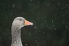Greylag Goose (Benjamin Joseph Andrew) Tags: geese waterfowl wildfowl snowing snow winter cold freezing looking