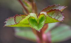 Heart shaped. (Omygodtom) Tags: macrodreams macro bokeh kitlens 18105lens d7100 outside heart red green ngs