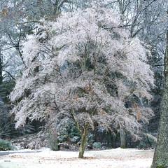 Frozen tree. (Mia Carrera) Tags: frozen ice frost winter cold froid arbre gel gele hiver petrifie petrified tree