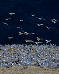 Snow Geese (Kimages2c) Tags: snow geese middlecreek flock migration goose birds