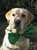 11/52 March 17th (MairéadNiRodaigh) Tags: 52weeksfordogs labrador stpatricksday