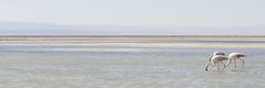 Paseo sigiloso (monto84) Tags: américa américadelsur animales aves avesdeaguayzancudas chile desiertodeatacama fauna flamenco formato formato3x1 fotografíafauna regióndeantofagasta salardeatacama