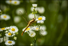 on tapestries... (parth joshi) Tags: nature dragonfly dragonflies wanderingglider pantalaflavescens insects odonate wildlife photography fauna outdoors himalayas travel himachalpradesh karsog naturephotography insectphotography forest woods daisyflower entomology