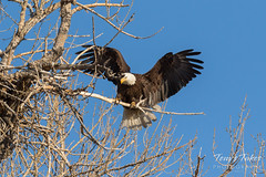 Female Bald Eagle returns to the nest - 21 of 29