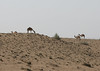 Sands 2 (chrisonmas) Tags: oman dunes camels