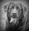 Charlie (in explore) (Y.Dingo) Tags: labrador mono dog smileonsaturday beautyofthebeast