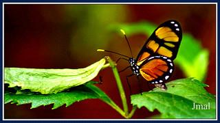 Borboleta - Butterfly - Mariposa - Schmetterling