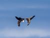 Tumblin´ eagles (Larsenio) Tags: eagle eagles eagleoceanseanorwaycoastwildlifeamazingnordicscandinavianorgehavkobbeselhavørnlandskapselerfjordfjordsnorwegiannortharcticarktiskfaunaarcticfaunaanimalswildanimalspentaxpentaxk20d pentax pentaxk5 sigma earth earthporn winter landscape birds birding fugler view 2018 wow flickr explore norway norge north norvege norwegen nordic northern norsk nordland northernnorway norwegian