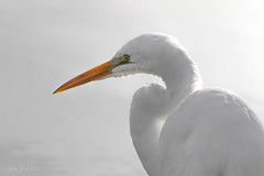 Great Egret (Selkii's Photos) Tags: birds california casmerodiusalbus egret greategret lasgallinasponds lasgallinasvalleysanitarydistrict marincounty sanrafael