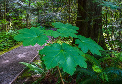 Leaves (Jane Olsen) Tags: cathedralgrove ancient bark trunks branches outdoor plant green walkway ferns britishcolumbia landscape nature