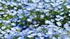 blue memory (hironimir10) Tags: ネモフィラ nemophila 青 blue flower 花 花畑 hitachinaka ひたち海浜公園 茨城