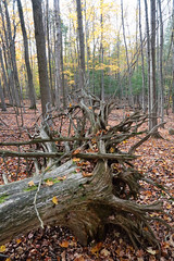 Roots (peterkelly) Tags: digital canon 6d caledon ontario canada northamerica ontarionature willoughbynaturereserve fall autumn forest trees tree stump roots fallen leaves dead death