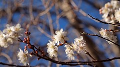 cherry blossoms for early hanami party (coniferconifer) Tags: cherry 桜 sakura hanami