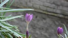 Crocus botaniques (jeanlouisallix) Tags: rouen seine maritime haute normandie france fleurs flowers nature crocus botaniques jardinage jardins gardens